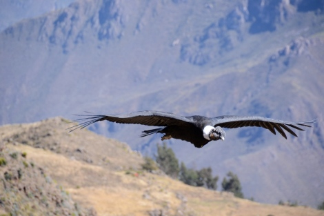 condors of the canyon