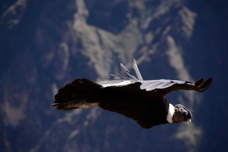 this is one of my best shots. The condors are amazing, majestic and kind enough to be easilly spotted